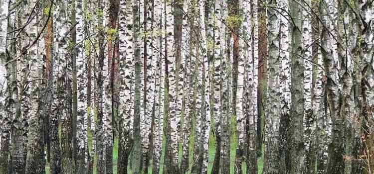 Береза термообработанная. Свойства древесины